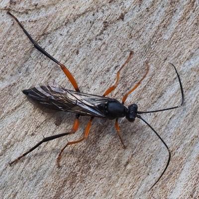 Hoplismenus terrificus (Ichneumonidae)