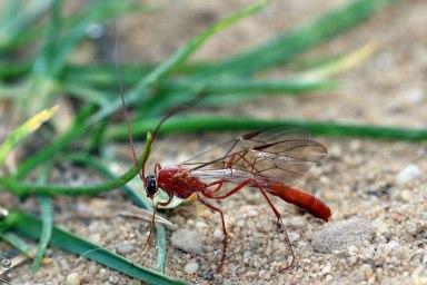 Oph.scutellaris