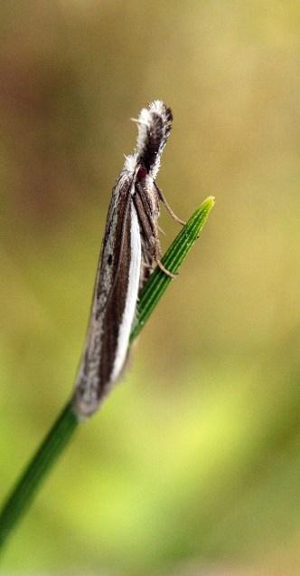 P.bicostella