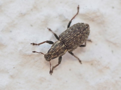 S.hispidulus