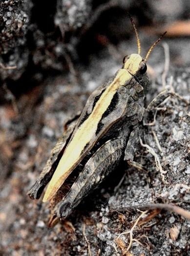 T.undulata
