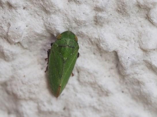 Tet.virescens