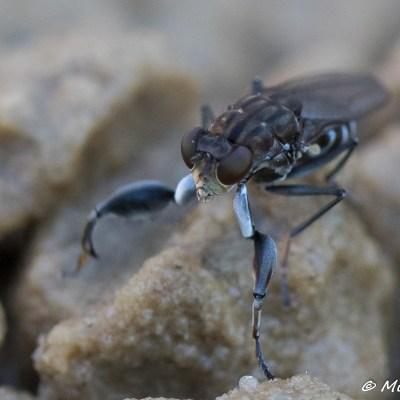 Ochthera mantis - Łapaczka modliszka