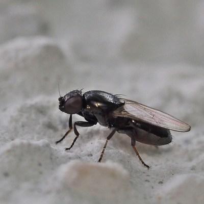 Madiza glabra (Milichiidae)