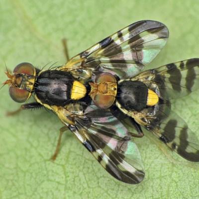 Rhagoletis cerasi (Tephritidae)
