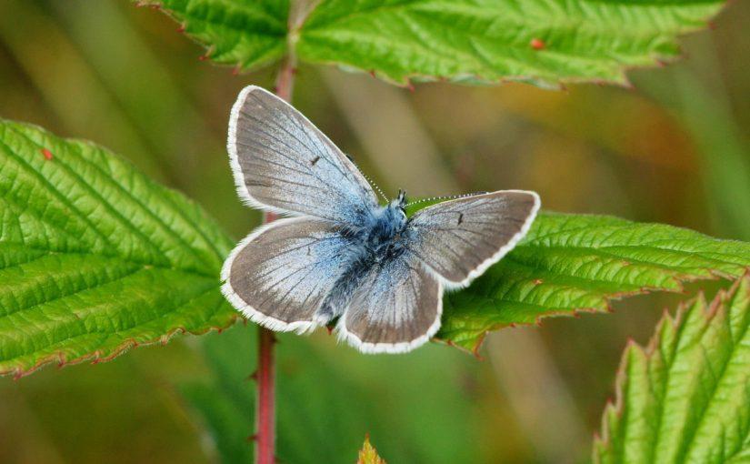 Mitglied werden im EVB, Butterfly, Aricia nicias, Grimentz, Wallis, CC-BY-SA-4.0, Bernhard Jost, Münsingen, Switzerland