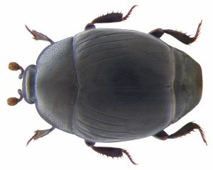 Histeridae, CC-BY-SA-2.0, Udo Schmidt, Germany, https://www.flickr.com/photos/coleoptera-us/