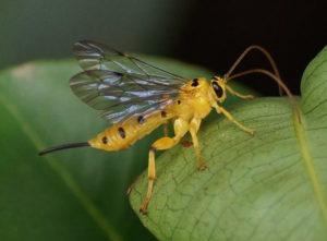 Ichneumonidae wasp, CC-BY-SA-3.0, Vengolis, https://en.wikipedia.org/wiki/Xanthopimpla_punctata#/media/File:Yellow_Ichneumon_Wasp.jpg