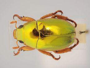 Golden Christmas Beetle (Anoplognathus aureus), mit 12-16 mm einer der kleinsten Christmas Beetles, der Käfer wurde 1961 vom EVB-Mitglied Leo Feller ausserhalb von Sidney gefunden
