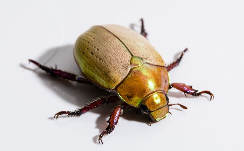 Weihnachten Down Under: Die Christmas Beetles fliegen
