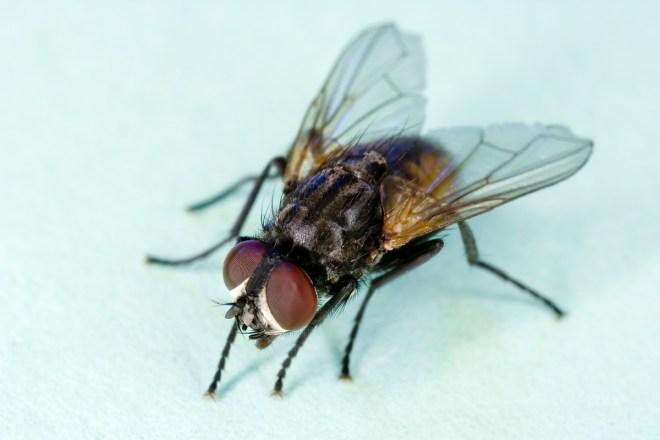 Hausfliegen sind oft mit vielen Bakterien kontaminiert und können als Bakterienschleudern bezeichnet werden