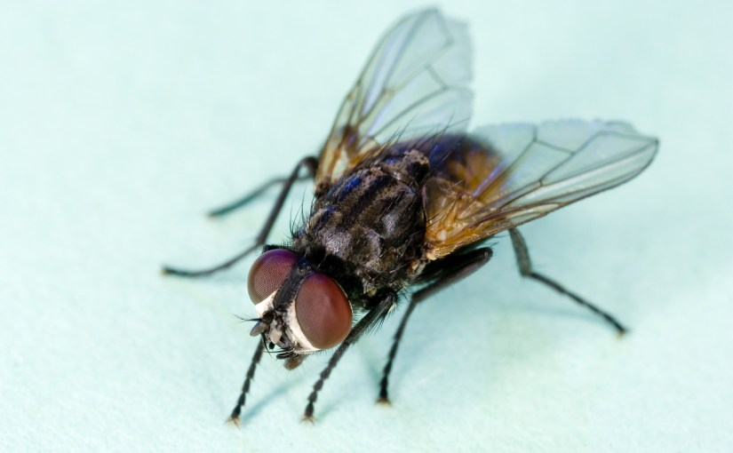 Fliegen sind Bakterienschleudern