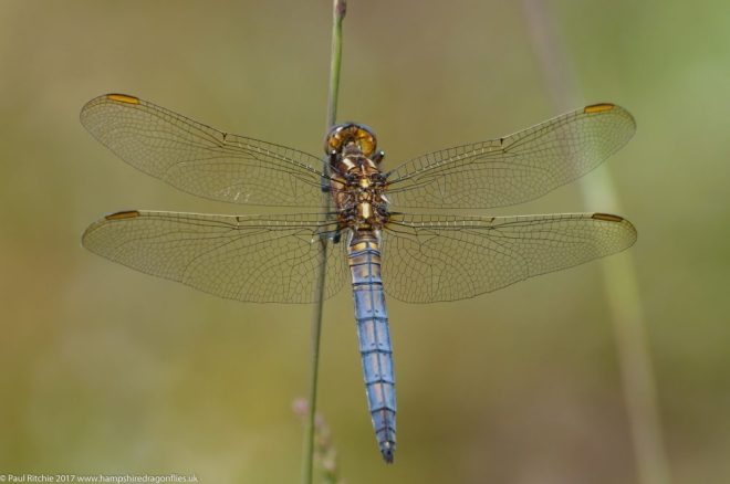 Bis 4.5 cm lange Libelle. Im Gegensatz zu den blauen Männchen ist der Hinterleib der Weibchen grünlich-braun. Die Entwicklung dauert 2 Jahre, die Art – obwohl vom Aussterben bedroht - ist im Kanton Bern in den letzten Jahren an neuen Standorten nachgewiesen worden