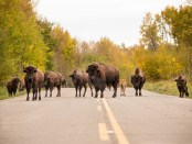 Auge in Auge mit Bisons im Elk Island National Park. - Foto: EEDC
