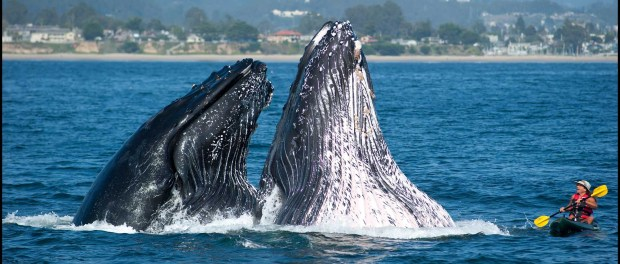 Whale Watching in Santa Cruz. - Foto: Credit Paul Schraub