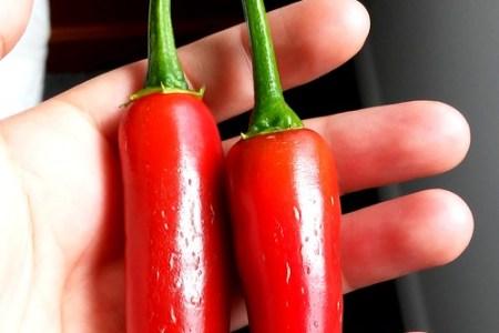 jalapeno chili hydroponic