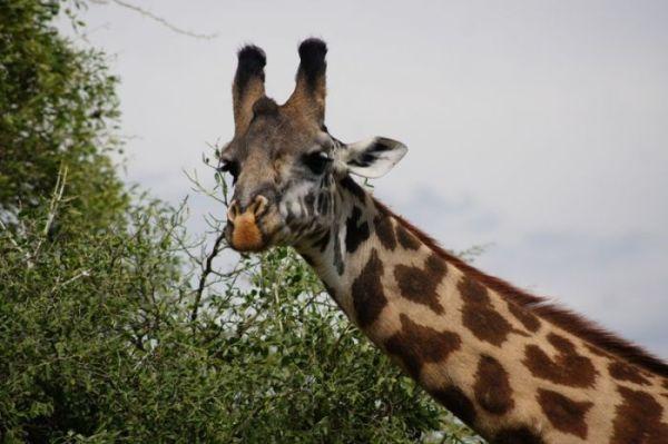 7 Nights/ 8 Days Safari to Manyara/ Ngorongoro/ Serengeti/ Zanzibar
