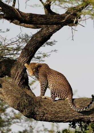 Leopard in Manyara
