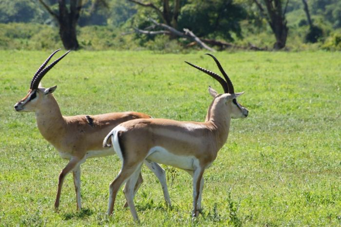 Impalla in Lake Manyara National Park