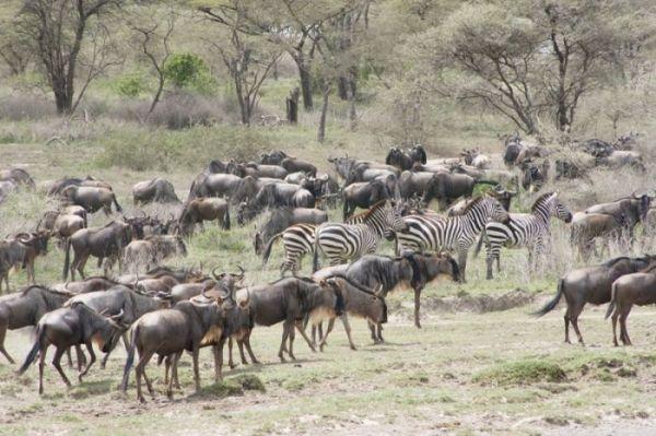 Serengeti Migration– 5 Days Lodge Safari