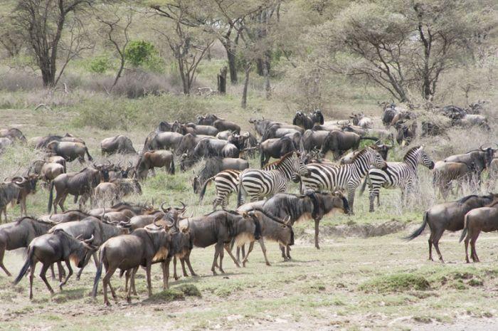 Wildebeest and Zebra in Serengeti Migration Safari