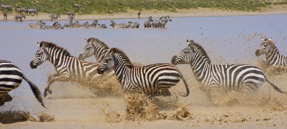 Zebras-in-Serngeri-National-Park