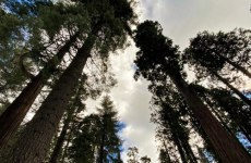 tall sequoia trees