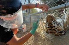student feeding tiger