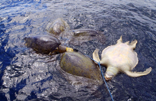 Dode zeeschildpadden
