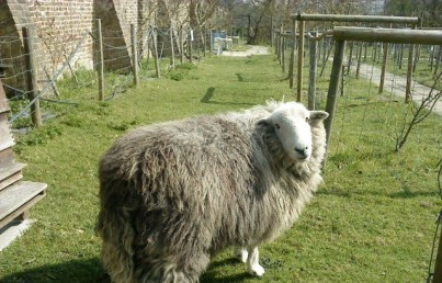 Sam the sheep: one of the attractions at Heathfield's ecology centre