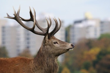 Finding a new home for Croydon's red deer was not straightforward