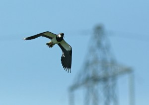 Lapwings are another under-threat species at Beddington. Photography by Peter Alfrey