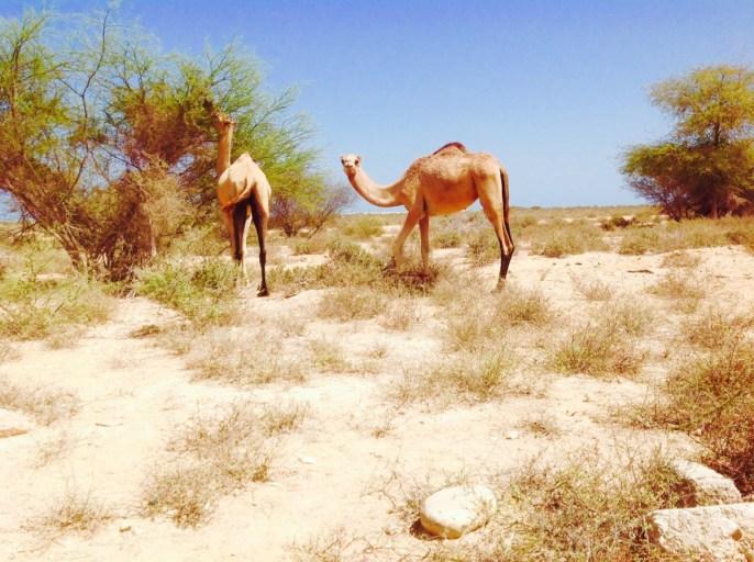 Kameel, Oman, Wadi Shab