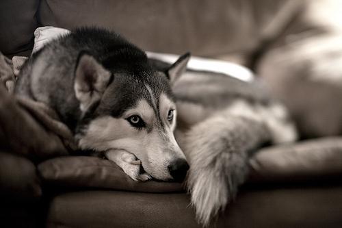husky+tumblr