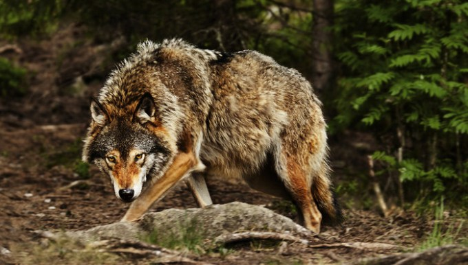 78989952_huge_wolf_by_picturebypalid491pb2