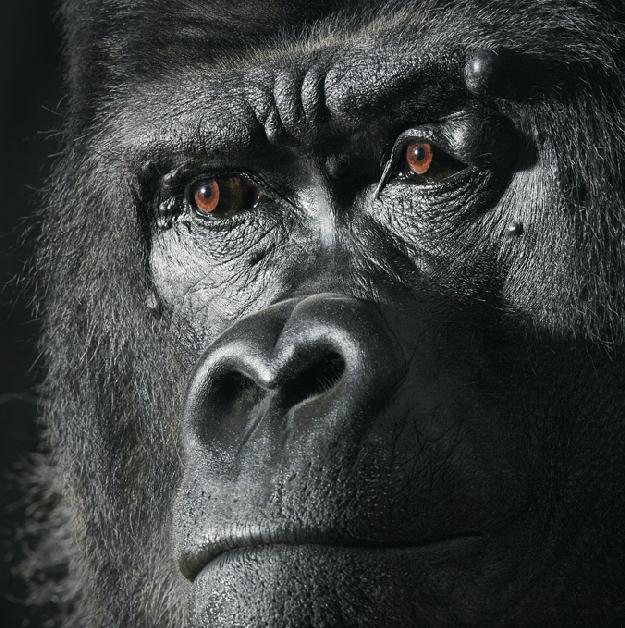 tumblr-gorilla-by-flach