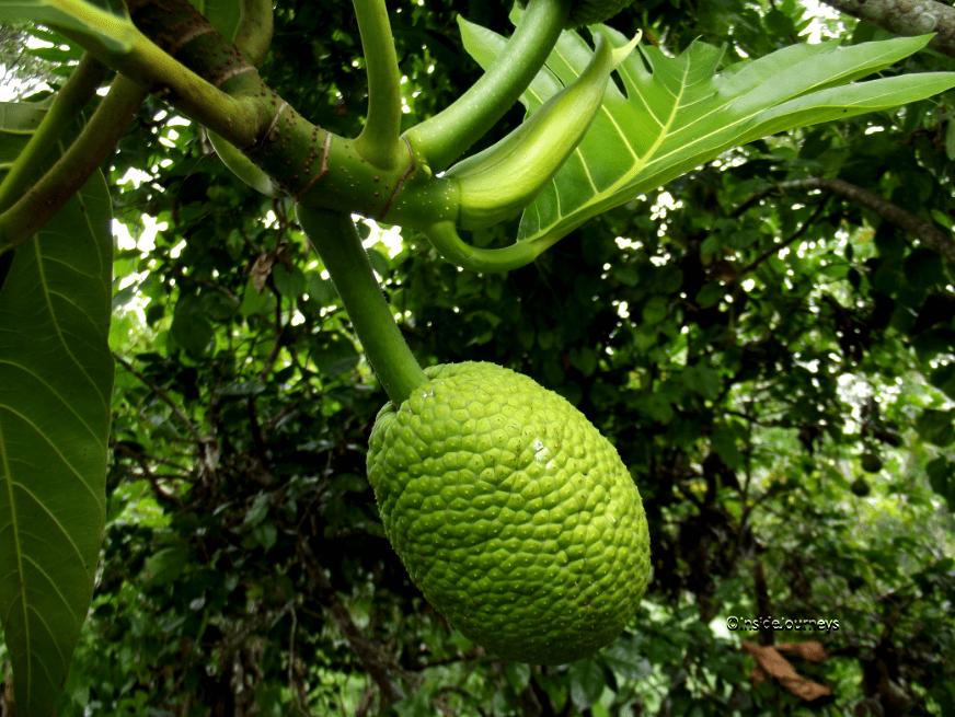 Image result for breadfruit