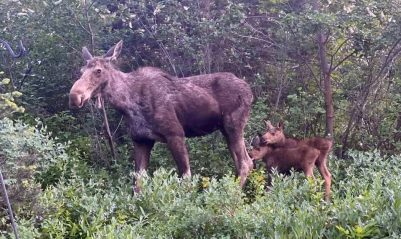 Park City Moose Mama with Babies