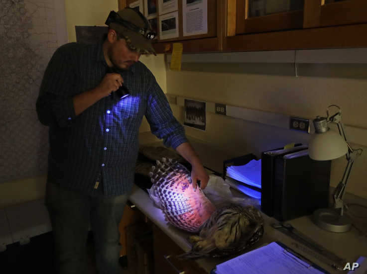 In this photo taken in the early morning hours of Oct. 24, 2018, Jordan Hazan uses an ultraviolet light in a lab in Corvallis,…