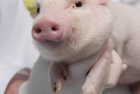 Minipigs Research Forum Announces 12th annual meeting in Barcelona