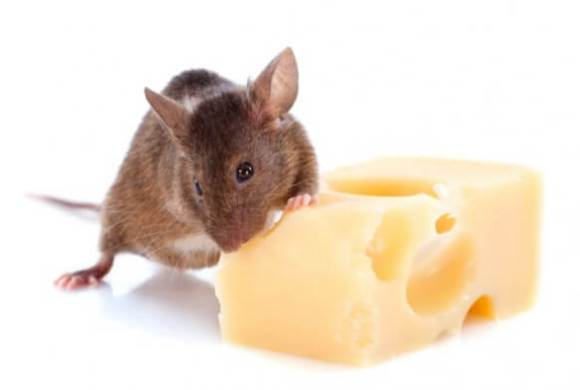 Pregnancy and Exercise: How Metabolism and Motivation are Affected in Expecting Mouse Mothers
