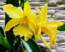 flower-yellow-orchid-611-web