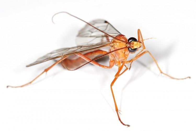 Parasitic Wasps