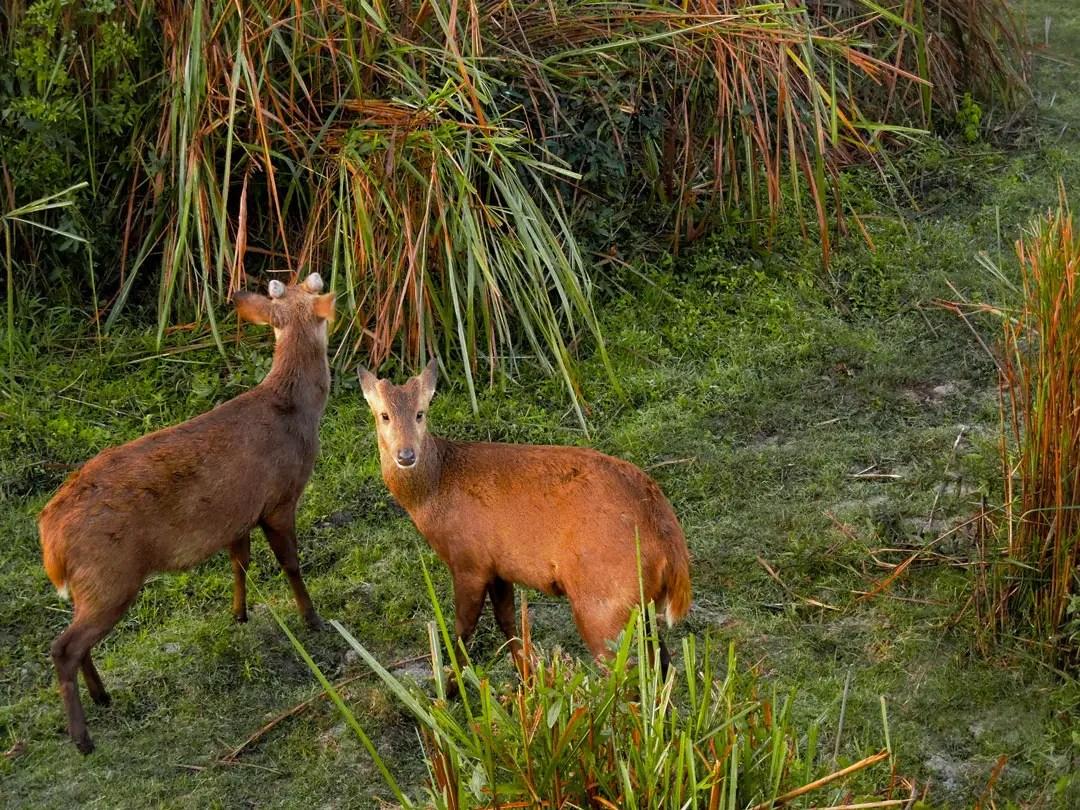 Hog Deer Kaziranga