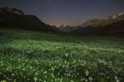 Flowers (Pulsatilla spp.) in the alpine meadow. Night shot. Valsavarenche, Gran Paradiso National Park, Valle d'Aosta, Italy