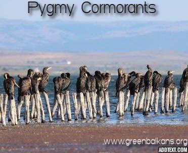 pygmy cormorants pomorie lake