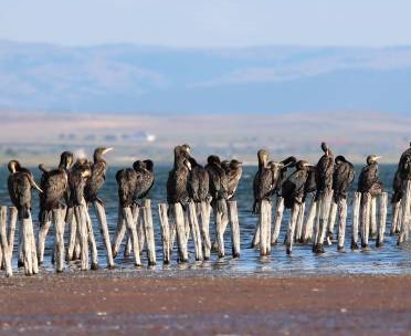 great cormorants pomorie