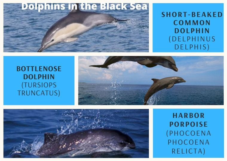 dolphins in the black sea