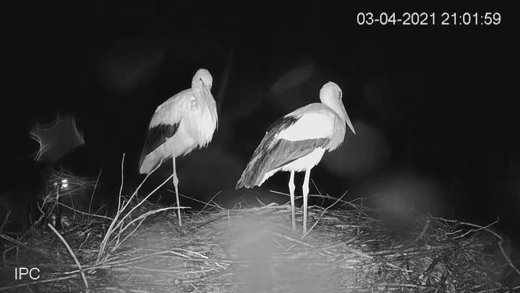 bulgarian storks drago and draga