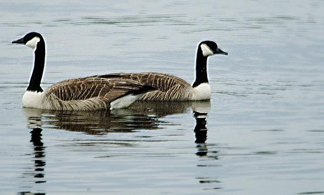 divorcing-swans